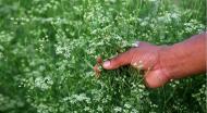 Вместо кукурузы и риса в Крыму выращивают кориандр и озимые.. Животные, растения, с/х