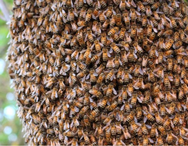Когда и почему пчелы не жалят?. Животные, растения, с/х