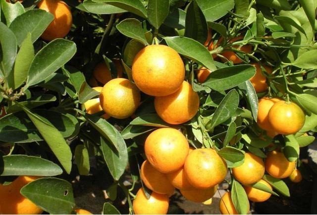 Грейпфрут лучше не есть, или есть?. Питание, Экология и здоровье