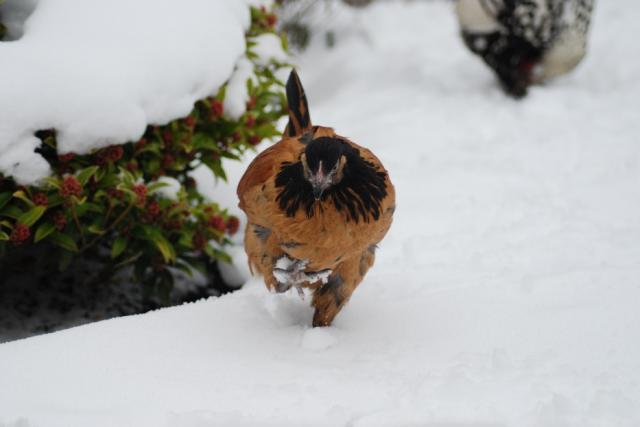 Как заставить кур нестись зимой?. Животные, растения, с/х