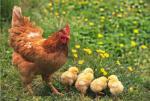 Как появляется яйцо у курицы?. Животные, растения, с/х