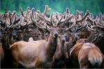 Панты марала: красота, бизнес, целебное средство.. Животные, растения, с/х, Экология и здоровье