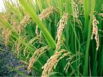 2016 - рекордный год для рисоводов Кубани. Животные, растения, с/х