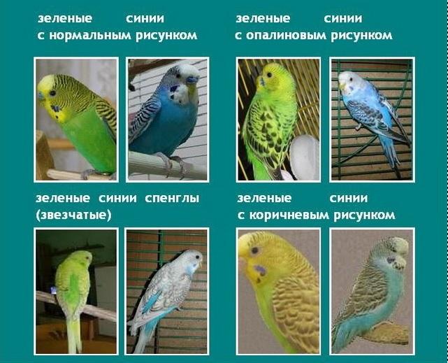 качественном термобелье разновидности волнистых попугаев с фото лучше отводит